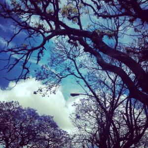 Jacarandas en ciudad de Guatemala. Foto por Aixa de López.